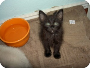 Domestic Mediumhair Kitten for Sale in Gilbert, Arizona - Fozzy