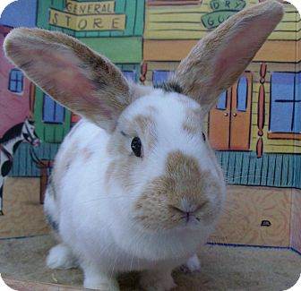 Harlequin Mix for Sale in Foster, Rhode Island - Cupid