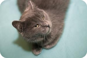 Domestic Shorthair Kitten for Sale in Manhattan, New York - PATTY