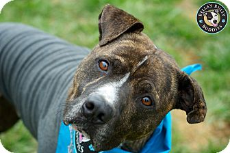 American Pit Bull Terrier/Boxer Mix Dog for adption in Perry Hall, Maryland - Manny