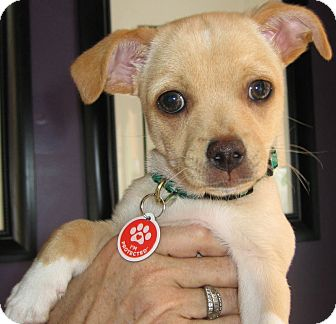 Chihuahua Mix Puppy for Sale in Thousand Oaks, California - Ferb