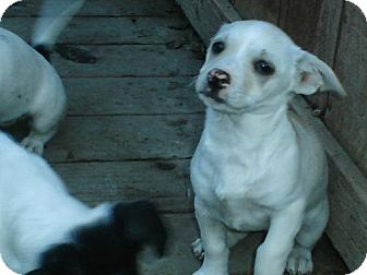 Jack Russell Terrier Mix Puppy for Sale in Atascadero, California - Cotton