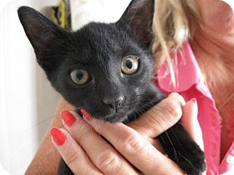 Domestic Shorthair Cat for adoption in Ft. Lauderdale, Florida - Eenie