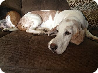 Basset Hound Dog for Sale in Groton, Massachusetts - Fred
