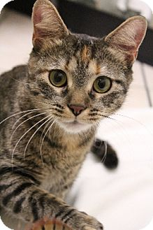 Domestic Shorthair Cat for Sale in Chicago, Illinois - Halle