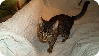 American Shorthair Cat for adoption in Hazard, Kentucky - Ernee