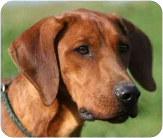 Coonhound Bloodhound Mix