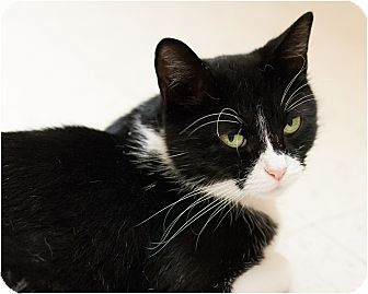 Domestic Shorthair Cat for adoption in Salem, New Hampshire - Eva
