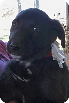 Labrador Retriever Mix Puppy for Sale in Manchester, Connecticut - Buford in Manchester Ct