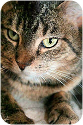 Domestic Shorthair Cat for adoption in Howell, Michigan - Amelia