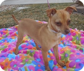 Chihuahua Mix Puppy for Sale in Westminster, Colorado - Hayley