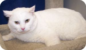 Domestic Shorthair Cat for Sale in Colorado Springs, Colorado - Ghost