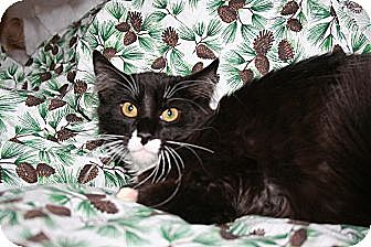 Domestic Longhair Cat for adoption in SantaRosa, California - Mistletoe