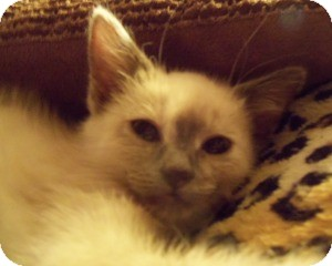 Ragdoll Kitten for Sale in Ennis, Texas - Seren