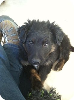 Retriever (Unknown Type) Mix Puppy for Sale in Morgantown, West Virginia - Johnny