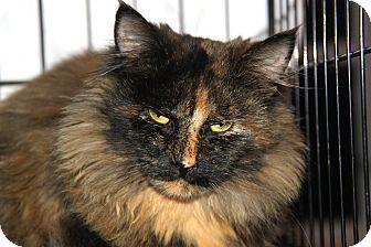 Maine Coon Cat for Sale in Berkeley Hts, New Jersey - Elmora