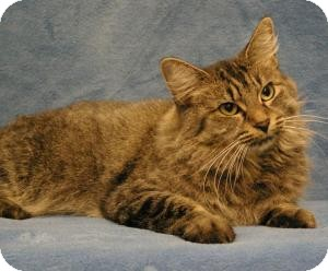 Maine Coon Cat for Sale in Sacramento, California - Sammy