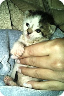 Domestic Shorthair Kitten for Sale in Oceanside, New York - Tiny
