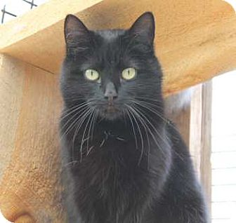 Domestic Shorthair Cat for adoption in Lunenburg, Massachusetts - Salt