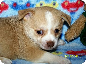 Chihuahua/Pomeranian Mix Puppy for Sale in Sherman, Connecticut - Cupid Betty's Dog