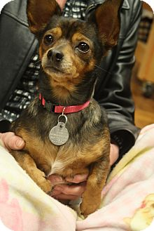 Chihuahua/Terrier (Unknown Type, Small) Mix Dog for Sale in Homewood, Alabama - Olivia