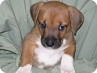 Boxer/Feist Mix Puppy for adption in Princeton, Kentucky - Freddie