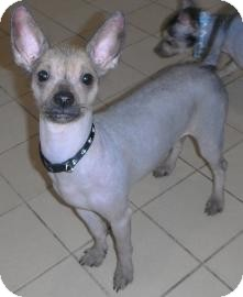 Chinese Crested/Chihuahua Mix Dog for Sale in Jackson, Michigan - Yoda