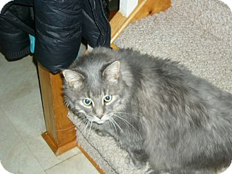 Persian Cat for adoption in Emsdale (Huntsville), Ontario - Smokey - Persian Cross!