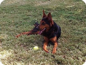 Shepherd (Unknown Type) Mix Dog for Sale in Missouri City, Texas - Max
