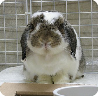 Lop-Eared Mix for Sale in North Gower, Ontario - Smores