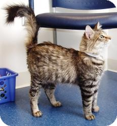 Maine Coon Cat for Sale in Arlington, Virginia - Felicity