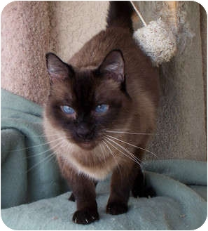 Siamese Cat for Sale in Palmdale, California - Sebastian
