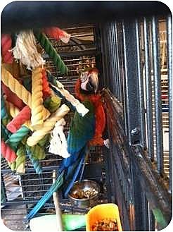 Macaw for adoption in Blairstown, New Jersey - Quinn