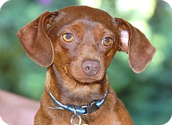 Dachshund/Miniature Pinscher Mix Dog for Sale in Bellflower, California - Kobe