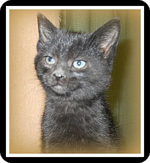 Domestic Shorthair Cat for Sale in Medford, Wisconsin - CLETUS