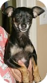 Chihuahua Dog for Sale in Conway, Arkansas - Sassy