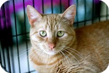 Domestic Shorthair Cat for adoption in East Brunswick, New Jersey - Charlie