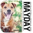 Photo 3 - American Pit Bull Terrier Mix Dog for adoption in Phoenix, Arizona - Mason