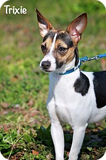Rat Terrier Mix Dog for Sale in Wilmington, Delaware - TRIXIE