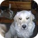 Golden Retriever Dog for Sale in Brougham, Ontario - Cloey
