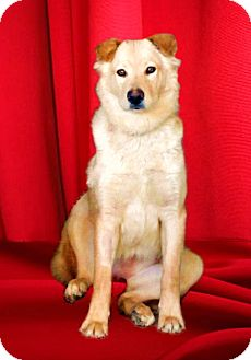Golden Retriever/Labrador Retriever Mix Dog for Sale in San Diego, California - HANNAH