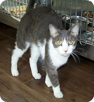 Domestic Shorthair Cat for Sale in Dover, Ohio - Ziggy