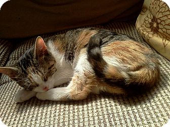 Calico Kitten for Sale in St. Louis, Missouri - Gustine
