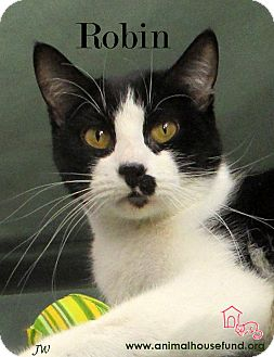 Domestic Shorthair Cat for adoption in St Louis, Missouri - Robin