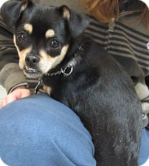 Chihuahua Mix Dog for Sale in Forked River, New Jersey - Martha