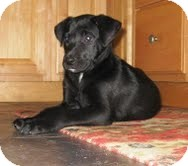 Labrador Retriever Mix Puppy for Sale in Washington, D.C. - Olivia