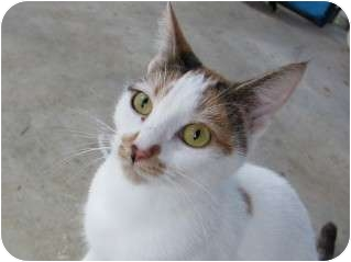 Domestic Shorthair Cat for adoption in Pittsboro, North Carolina - Aunt Pearl