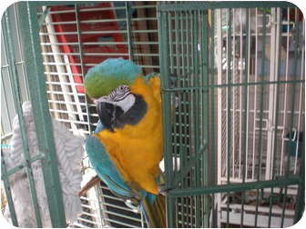 Macaw for Sale in Neenah, Wisconsin - Jasper