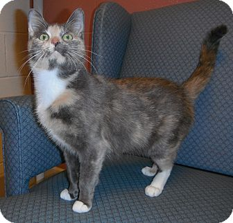 Calico Cat for Sale in Jackson, Michigan - Simone