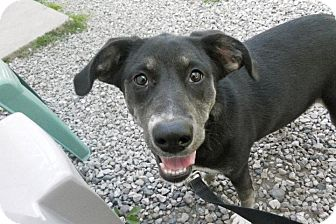 Labrador Retriever/Border Collie Mix Dog for adption in Carey, Ohio - KILA